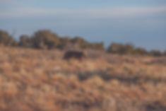 bearita in scrub brush.jpg