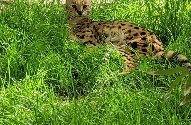 Rescued Serval