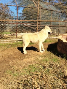 Rescued Wolf