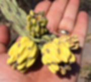 Budding sections on Cholla Cactus