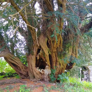 An ancient yew tree in Pennant Melangell
