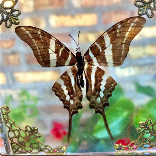Zebra Swallowtail Butterfly in Lucite Shadowbox