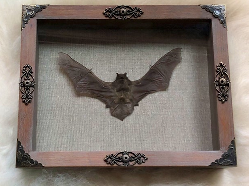 Black Bat In Shadowbox