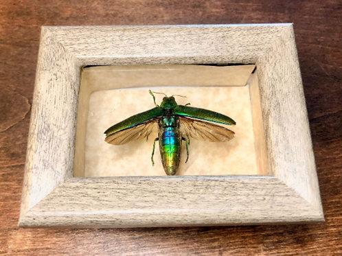 Jewel Beetle in mini Shadowbox