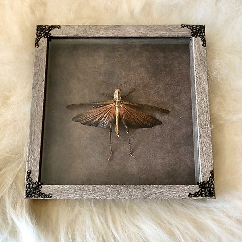 Giant Red-winged Grasshopper in Shadowbox