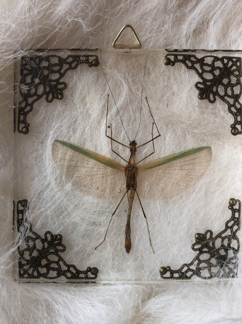 Stick insect in Lucite Shadowbox