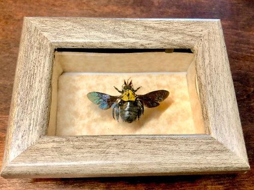 Yellow Bee in Mini Shadowbox