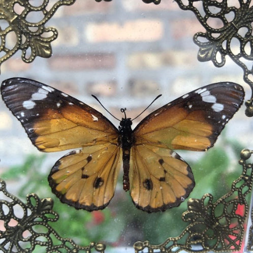 Real Tiger Butterfly in Lucite Shadowbox