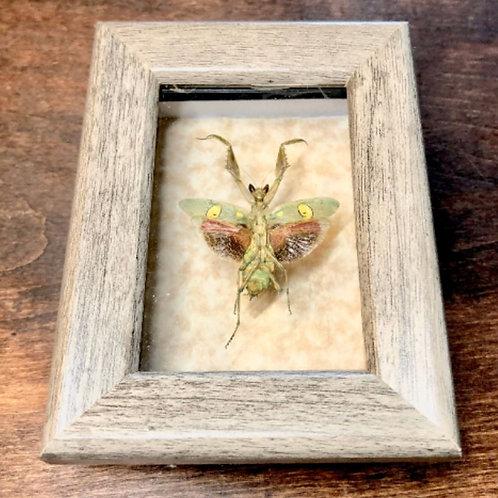 Flower Mantis In Mini Shadowbox