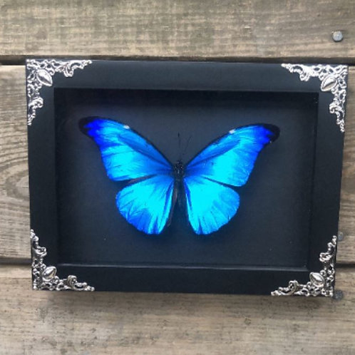 Blue Morpho in Black and Silver Shadowbox