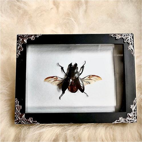 Stag Beetle in Black Shadowbox
