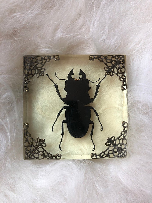 Large Beetle in Lucite Shadowbox