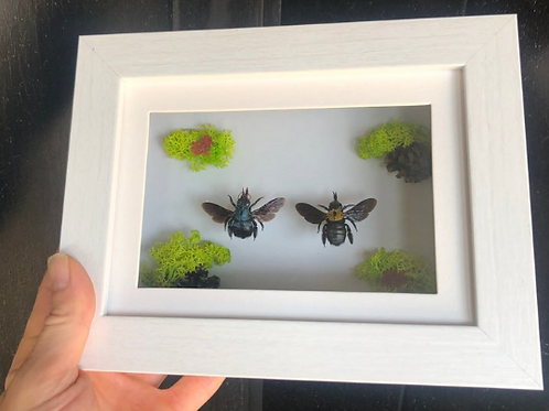 Blue Bee and Yellow Bee with Dried Flowers and Acorns in White Shadowbox