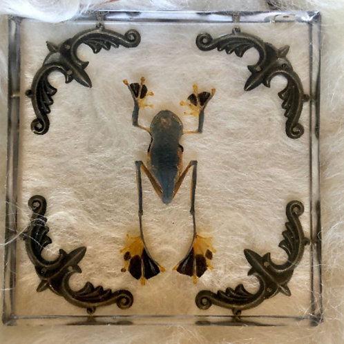 Flying Frog in Lucite Shadowbox