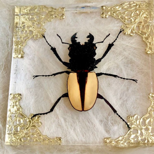 Giant Pale Moon Stag Beetle in Lucite Shadowbox