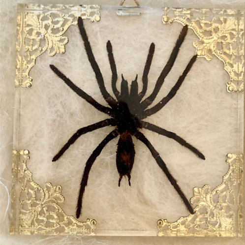 Tarantula in Lucite Shadowbox