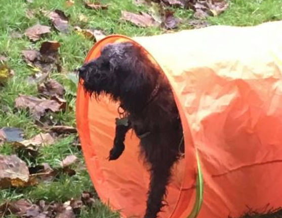 Bark Hill Dog Training Dog in Tunnel