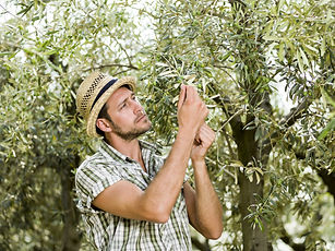 farmer is harvesting olives and checking