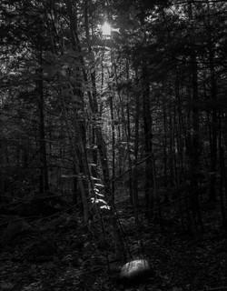 Forest Light, Maine, 2019