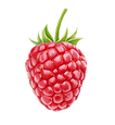 Red Raspberry 5.pngVECTOR.png