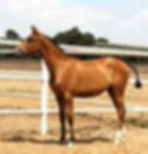 Jota CA (Remache XIII & Kioskera RAM) 2012. Foto José María Anguas Medina. Kara Pura Raza Española PRE spanska hästar