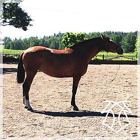 Jota CA (Remache XIII & Kioskera RAM) 2014 Kara Pura Raza Española PRE spanska hästar