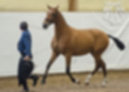 Jota CA (Remache XIII & Kioskera RAM, c. Yeguada Candas, t. Kara Pura Raza Española PRE spanska hästar – Bicampeona Joven en Morfología & Movimientos