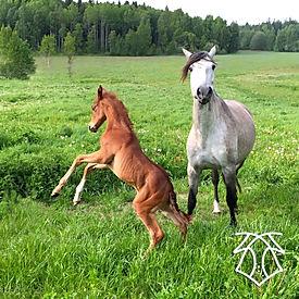 Dakar de Kara (Fer Avellado & Hera XXX, c. Kara Pura Raza Española) PRE spanska hästar