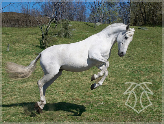 Yedra VIII 2009 Kara Pura Raza Española PRE spanska hästar