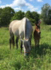 Elvira de Kara (Fer Avellado & Hera XXX, c. Kara Pura Raza Española) PRE spanska hästar