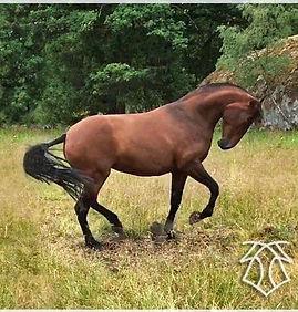 Canaria de Kara (Fer Avellado & Hera XXX, c. Kara Pura Raza Española) PRE spanska hästar