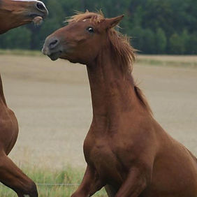 Darío de Kara (Fer Avellado & Noceda II, c. Kara Pura Raza Española) PRE spanska hästar