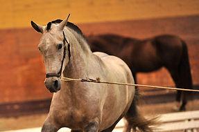 Carmina V – Campeona Joven de Suecia 2009 Kara Pura Raza Española spanska hästar PRE