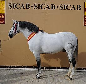 Nero II – 3 x Campeón de España SICAB