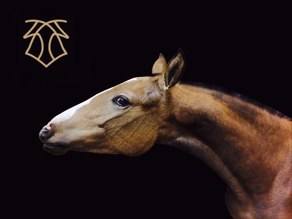 Cometa de Kara, bred by Kara Pura Raza Española PRE spanska hästar