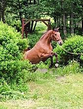 Jota CA (Remache XIII & Kioskera RAM) 2014. Kara Pura Raza Española PRE spanska hästar Foto de Ulrika Belhoussine