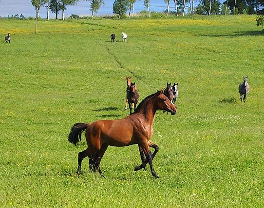 Canaria de Kara (Fer Avellado & Hera XXX) bred by Kara Pura Raza Española PRE spanska hästar