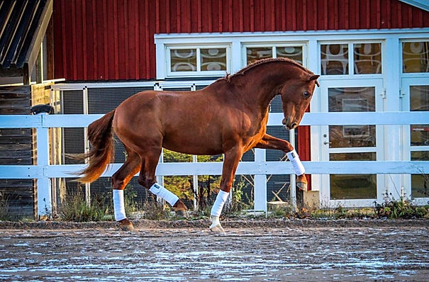 Dakar de Kara (Fer Avellado & Hera XXX, c. Kara PRE) owned by Renée Knutson/Remont.se. Photo by Julia Andersson