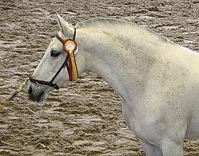 Yedra VIII – Subcampeona de la Raza 2008 Kara Pura Raza Española PRE spanska hästar