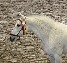 Yedra VIII Subcampeona del Concurso 2008 PRE Kara Pura Raza Española spanska hästar