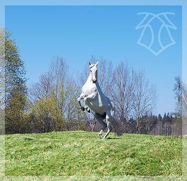 Yedra VIII, Kara Pura Raza Española PRE spanska hästar
