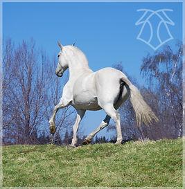 Yedra VIII (Zepelin & Madona), t. Kara P.R.E. Kara Pura Raza Española PRE spanska hästar