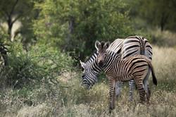 silvan-safari-activities-game-drive-zebr