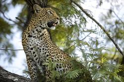 silvan-safari-activities-game-drive-leop