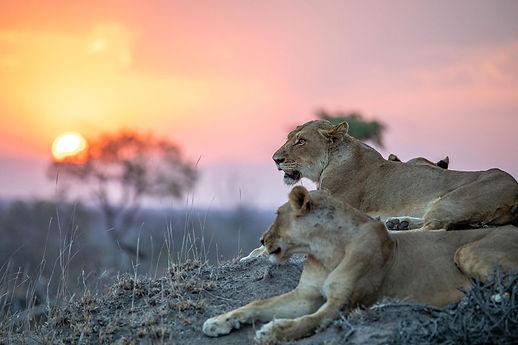 silvan-safari-activities-game-drive-lion