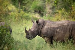 silvan-safari-game-drive-wildlife-rhinos