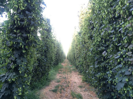 A Critical Ingredient to Washington's Hops