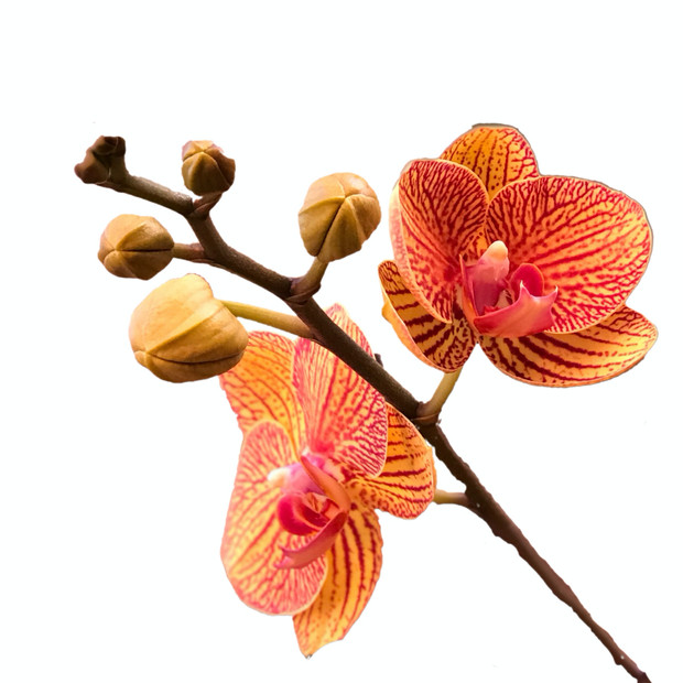 Orange Orchid with a white background