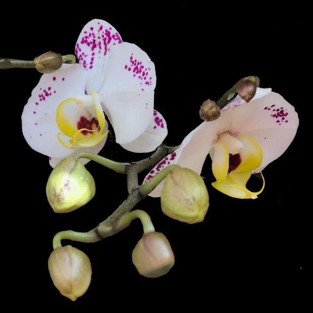 White Phalaenopsis sprinkled with pink