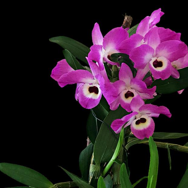 Noble Dendrobium
